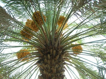 1200px-Date_palm_with_fruits