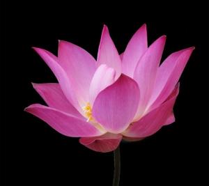lotus-1396617
